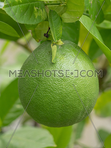 Green lemon on a branch in the garden Fresh green lemon hanging on branches with leaves on a tree