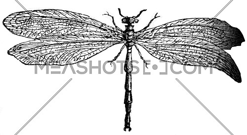 Myrmeleon insect, vintage engraved illustration.