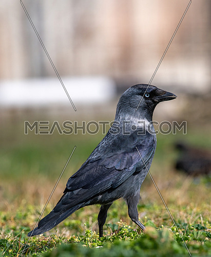 Jackdaw Corvus monedula on the ground, close up