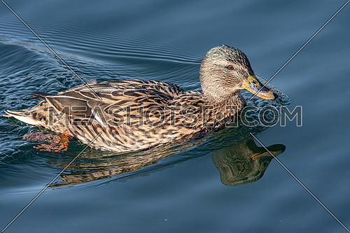 Birds and animals in wildlife. Mallard Duck, Anas platyrhynchos.