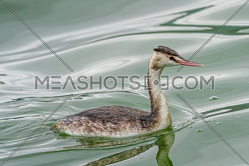 Close up great crested grebe, Podiceps cristatus swimming on lake
