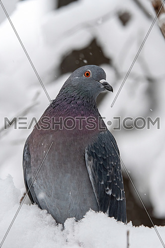 Pigeon of the Church. Pigeon view. Lonely dove bird. One pigeon. Dove close up view. Pigeon standing alone.