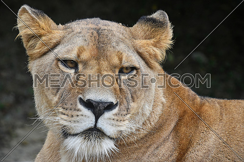 Face to face, close up portrait of beautiful mature female African lioness looking at camera, low angle view