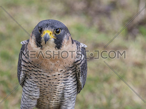 Falco peregrinus, also known as the peregrine, and historically as the duck hawk in North America, is a widespread bird of prey in the family Falconidae