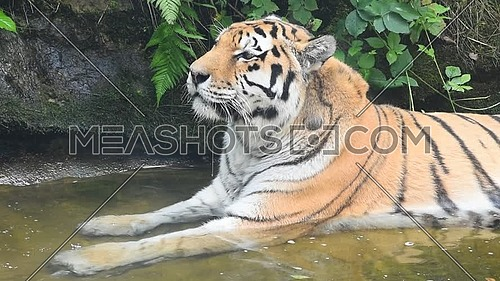 Close up side profile portrait of one mature Amur Siberian tiger male resting in water, looking away and at camera, low angle view