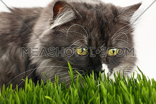 Portrait of one cute gray domestic cat looking at and smelling fresh green grass over white background, close up, low angle view