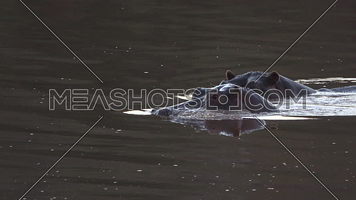 Scene of two hippos grazing in a river
