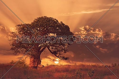 An old big tree in a green field in africa
