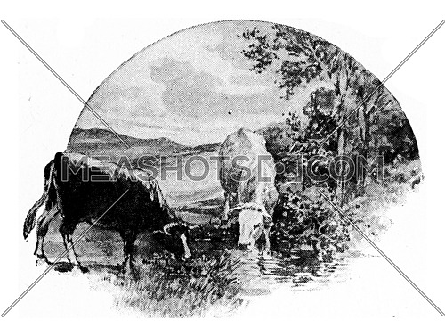 The cow eats grass and clover from the meadow, drinks water from the brook, vintage engraved illustration.