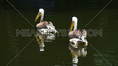 Close up couple of two pelicans swim in lake water with reflection, high angle view