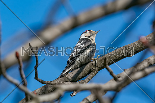 The Lesser Spotted Woodpecker (Dendrocopos minor) in the wood.