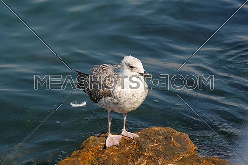 Seagull by the shore standing on a rock