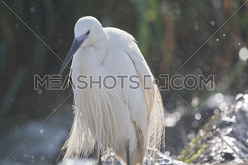 Little Egret bird