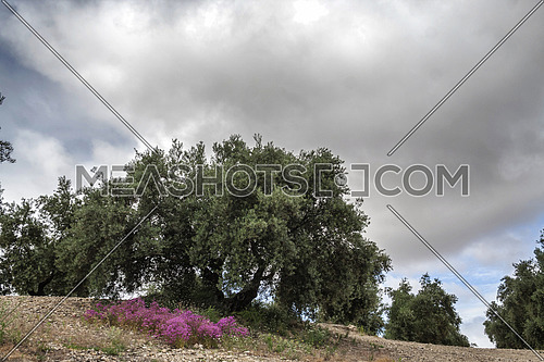 Olive tree in bloom during spring, Andalusia, Spain