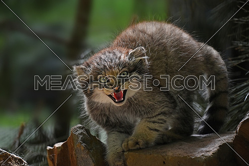 Close up portrait of one cute Manul kitten (The Pallas's cat or Otocolobus manul) looking at camera alerted, hissing and roaring with mouth open, low angle view