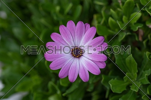 African daisies or Osteospermum or Daisy bushes plant with open blooming white with small violet ends flower petals and colourful dark violet center