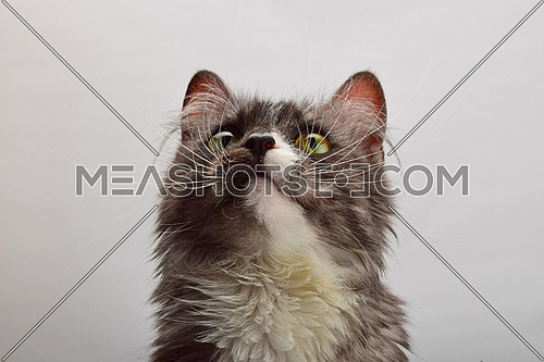 Close up front portrait of one cute gray domestic cat with white spots, looking up over gray background, low angle view