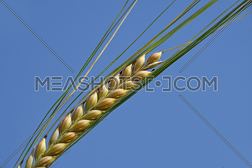 Extreme close up macro shot of green and ripe wheat or rye ear over background of clear blue sky, low angle view