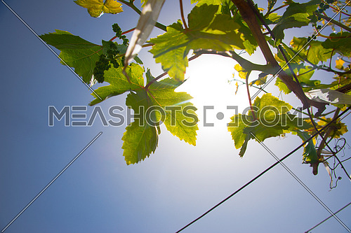 grape leaves and branches against blue sky