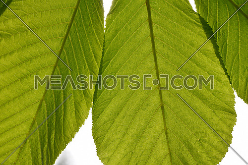 Translucent horse chestnut textured green leaves close up in back lighting isolated on white sky background with sun shine flare