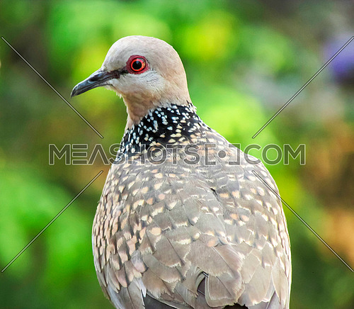 common-Indian-dove