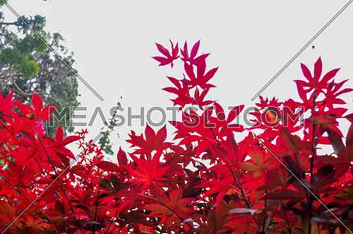 red leaves against  the  sky