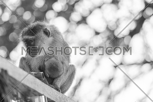 during my trip to zambia luangwa open park, monkeys are protecting their children with everything they can - monochrome