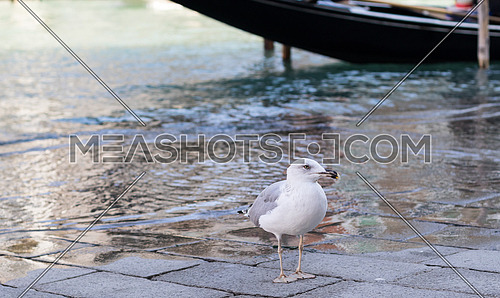 Seagull by the canal in Venice