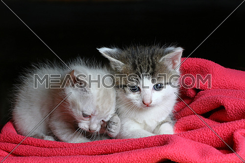 Baby cats  Two little kittens cuddling on a pink blanket with dark background