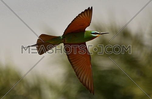 a flying Blue Cheeked Bee-Eater