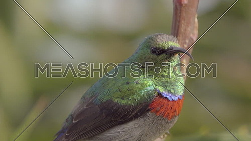 View of Greater Double-collared Sunbird perched on branch