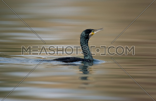 Great Cormorant Bird in water
