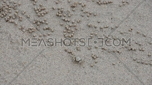 Close up of one small tropical sand bubbler crab (Scopimera globosa) making sand pellets around burrow during low tide on sea shore beach