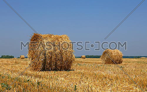 Yellow golden bales of wheat hay straw in stubble field after harvesting season in agriculture