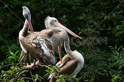 Close up group of several grey pelicans sitting resting on tree, low angle side view