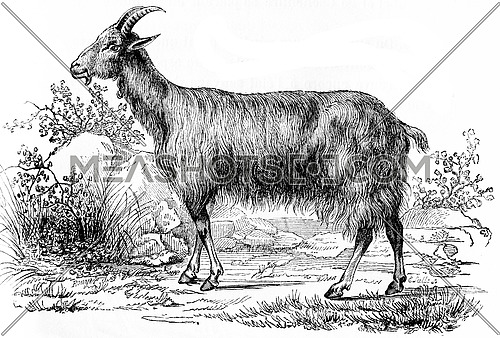Goat, vintage engraved illustration. Natural History of Animals, 1880.