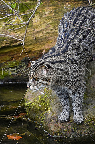 Fishing cat (Prionailurus viverrinus) hunting and watching fish in water, side high angle view