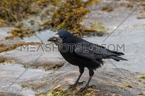 Rook on the field (Corvus frugilegus) Wildlife