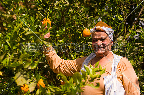 portrait of an elderly middle eastern farmers to farm orange with a smile on his face on a sunny summer day