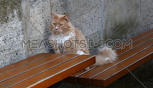 Front portrait of one ginger colored domestic cat sitting on wooden bench and looking at camera, high angle view