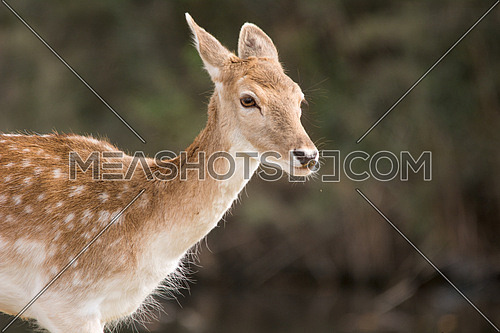 A Deer in close up