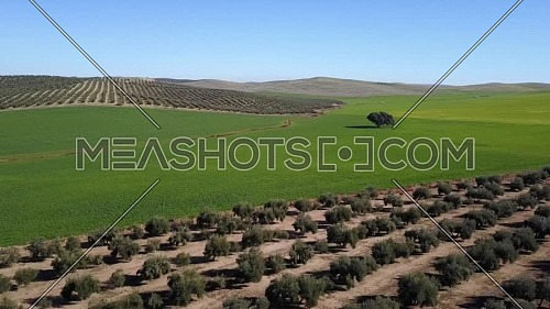 Field sowed with barley close to plantation of olive groves, spain