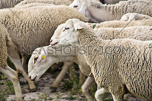 Livestock farm, herd of sheep, Andalusia, Spain