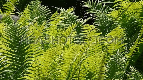 Close up green fern leaves shaking in the wind over dark background, low angle view