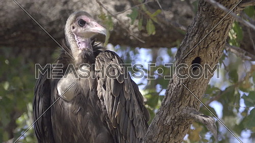 View of a Hooded Vulture facing the camera