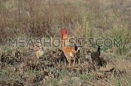Rooster and Hens in the Wilderness