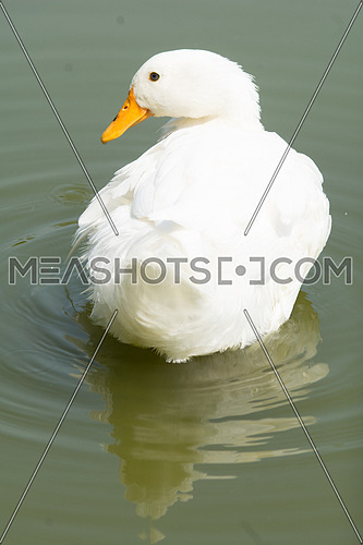 A white Duck swimming in calm waters