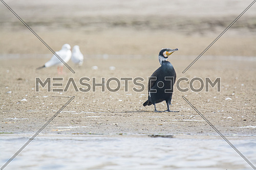 Great Cormorant Bird