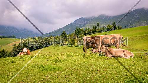 milck cows with grazing on Switzerland Alpine mountains green grass pasture.