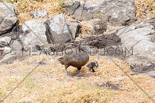 Eider duck (Somateria mollissima ) female and juveniles walking on grass